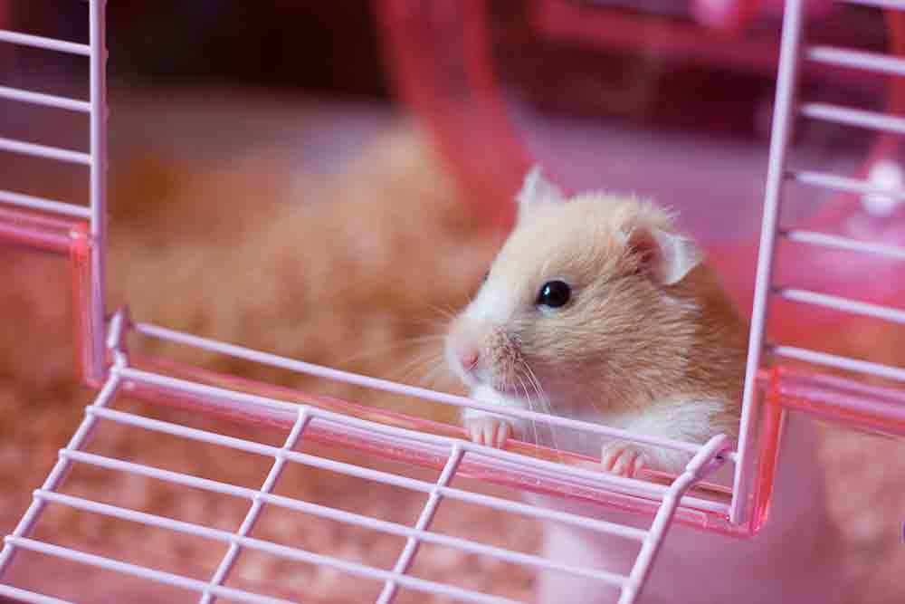 Cute Golden Fur Bear Hamster