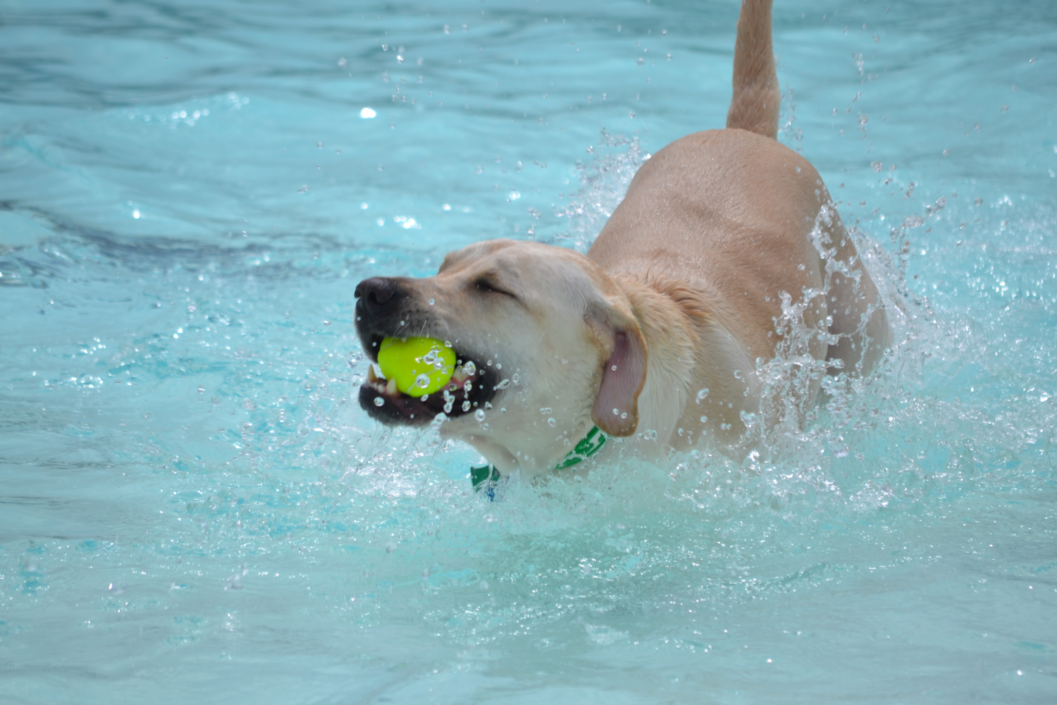Lab swimming in a pool