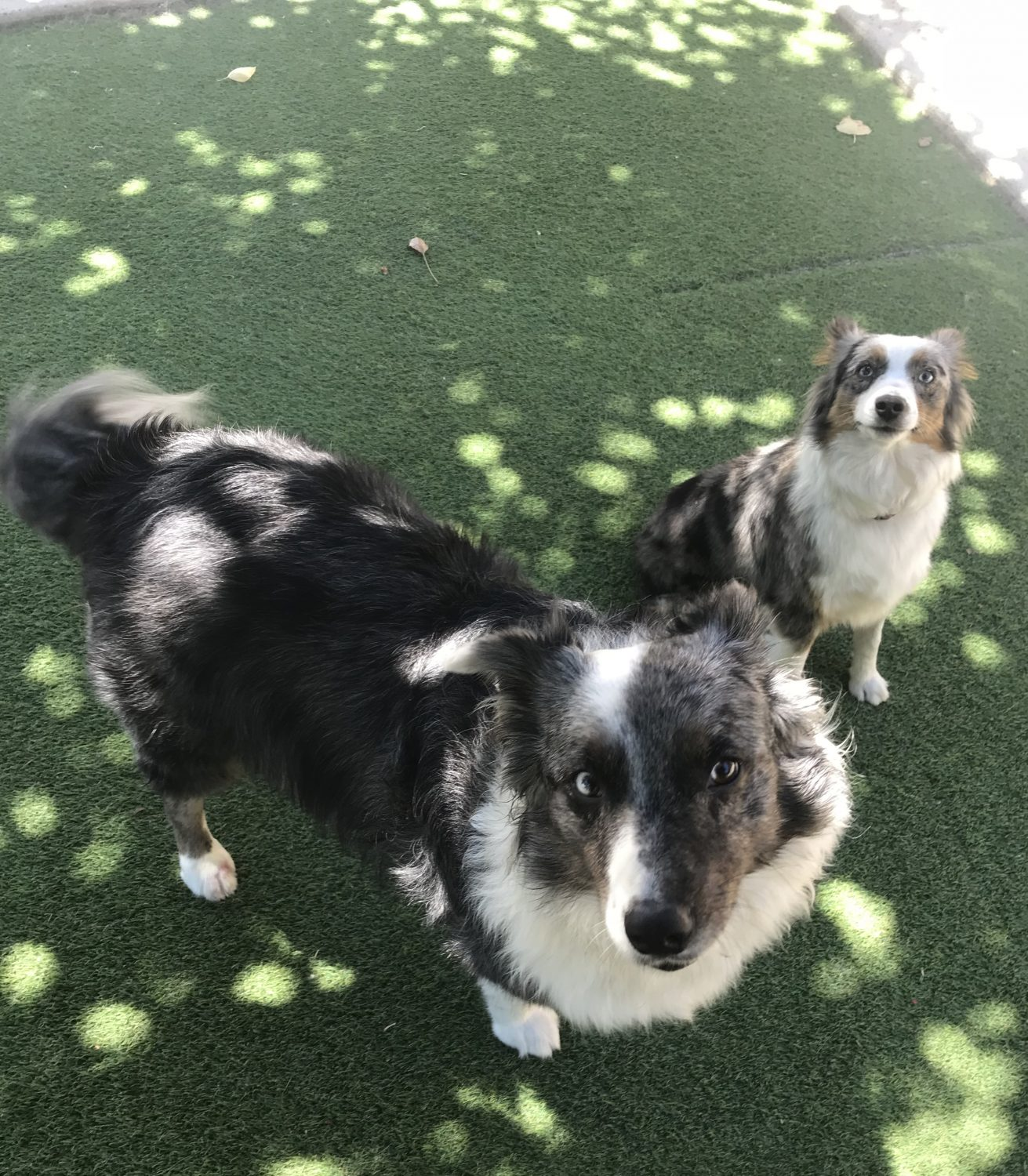 Two dogs waiting for a command
